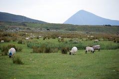 Schafe auf Achill-Insel, in Irland Stockfoto