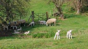 Schafe auf Ackerland Stockfotos