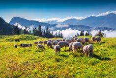 Schafe auf alpiner Weide am sonnigen Sommertag Lizenzfreie Stockbilder