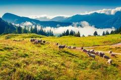 Schafe auf alpiner Weide am sonnigen Sommertag Stockbild