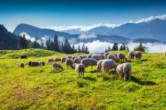 Schafe auf alpiner Weide am sonnigen Sommertag Stockbilder