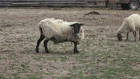 Schafe auf Bauernhof stock video