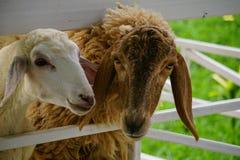Schafe auf Bauernhof Lizenzfreie Stockbilder