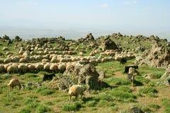 Schafe auf Berg Stockfotos