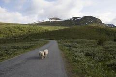 Schafe auf Berg im norwegischen Nationalpark Lizenzfreie Stockbilder