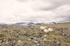 Schafe auf Berg im norwegischen Nationalpark Stockbild
