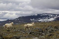 Schafe auf Berg im norwegischen Nationalpark Stockfoto