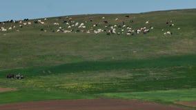 Schafe auf Bergspitzen stock video