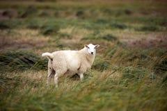 Schafe auf dänischem Strand Stockfoto