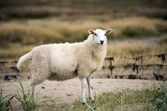 Schafe auf dänischem Strand Lizenzfreie Stockfotografie
