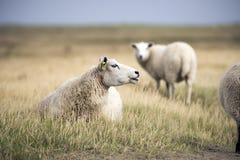 Schafe auf dänischem Strand Lizenzfreies Stockbild
