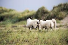 Schafe auf dänischem Strand Lizenzfreies Stockfoto