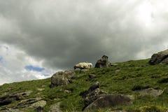 Schafe auf dem Abhang Stockbilder