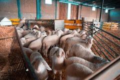 Schafe auf dem Bauernhof stockbild