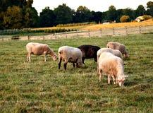 Schafe auf dem Bauernhof Stockbilder