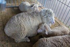 Schafe auf dem Bauernhof liegen auf dem Boden des barnr Stockfoto