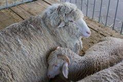 Schafe auf dem Bauernhof liegen auf dem Boden der Scheune Stockfotografie