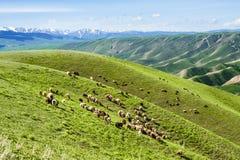 Schafe auf dem Berg Stockfotos