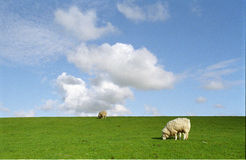 Schafe auf dem Damm Stockfotos
