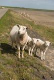 Schafe auf dem Damm der Insel Terschelling in den Niederlanden Lizenzfreies Stockfoto