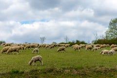 Schafe auf dem Gebiet Lizenzfreies Stockbild