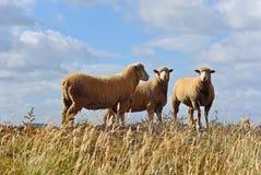 Schafe auf dem Gebiet Stockfotos