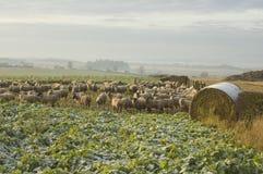 Schafe auf dem Gebiet Stockbild