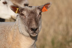 Schafe auf dem Gebiet lizenzfreies stockfoto