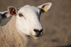 Schafe auf dem Gebiet Stockfoto