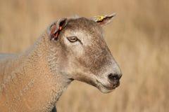 Schafe auf dem Gebiet Lizenzfreie Stockfotografie