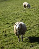 Schafe auf dem Gebiet, Crookham, Northumberland, England Großbritannien Stockbild