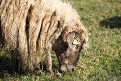 Schafe auf dem Gebiet Gras essend Stockfotos