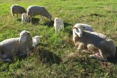Schafe auf dem Gebiet im Freien lizenzfreies stockbild