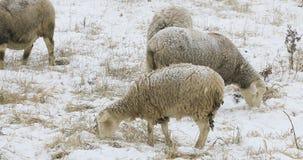 Schafe auf dem Gebiet im Schnee Lizenzfreies Stockfoto