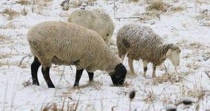 Schafe auf dem Gebiet im Winter Stockbild