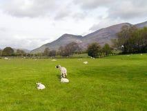 Schafe auf dem Gebiet mit Bergen hinten lizenzfreie stockfotos
