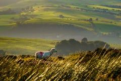 Schafe auf dem Gebiet mit Rolling Hills von England stockfotos