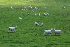 Schafe auf dem Gebiet stockbilder