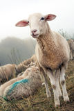 Schafe auf dem Graben im Nebel Stockfoto