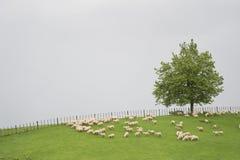 Schafe auf dem Grasfeld Stockfotos