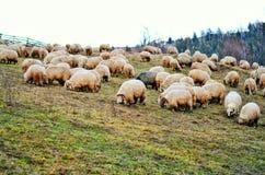 Schafe auf dem Hügel Stockfotografie