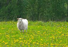 Schafe auf dem Löwenzahngebiet Stockbild