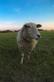 Schafe auf dem Landwirtgebiet Stockfotografie