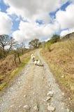 Schafe auf dem Weg Stockbilder