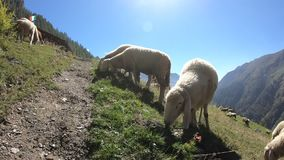 Schafe auf den Bergen im Sommer, italienische Alpen stock video