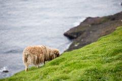 Schafe auf den Färöern Stockbild