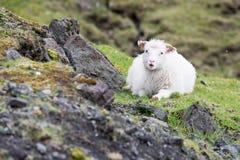 Schafe auf den Färöern Stockbilder