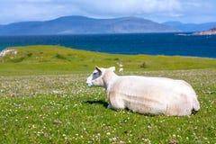 Schafe auf den Gebieten von Iona im inneren Hebrides, Schottland-Schafe auf den Gebieten von Iona im inneren Hebrides, Schottland Lizenzfreies Stockfoto