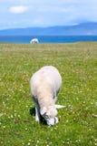 Schafe auf den Gebieten von Iona im inneren Hebrides, Schottland-Schafe auf den Gebieten von Iona im inneren Hebrides, Schottland Stockbilder