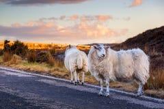 Schafe auf der Autobahn A836 in den schottischen Hochländern lizenzfreie stockfotografie
